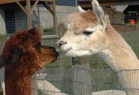 Diastole Alpaca Farm