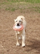 dog with frisbee at dog park