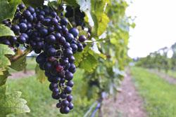 yadkin valley vineyard grapes